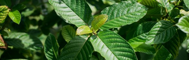 Your Complete Guide to Kratom Dosage