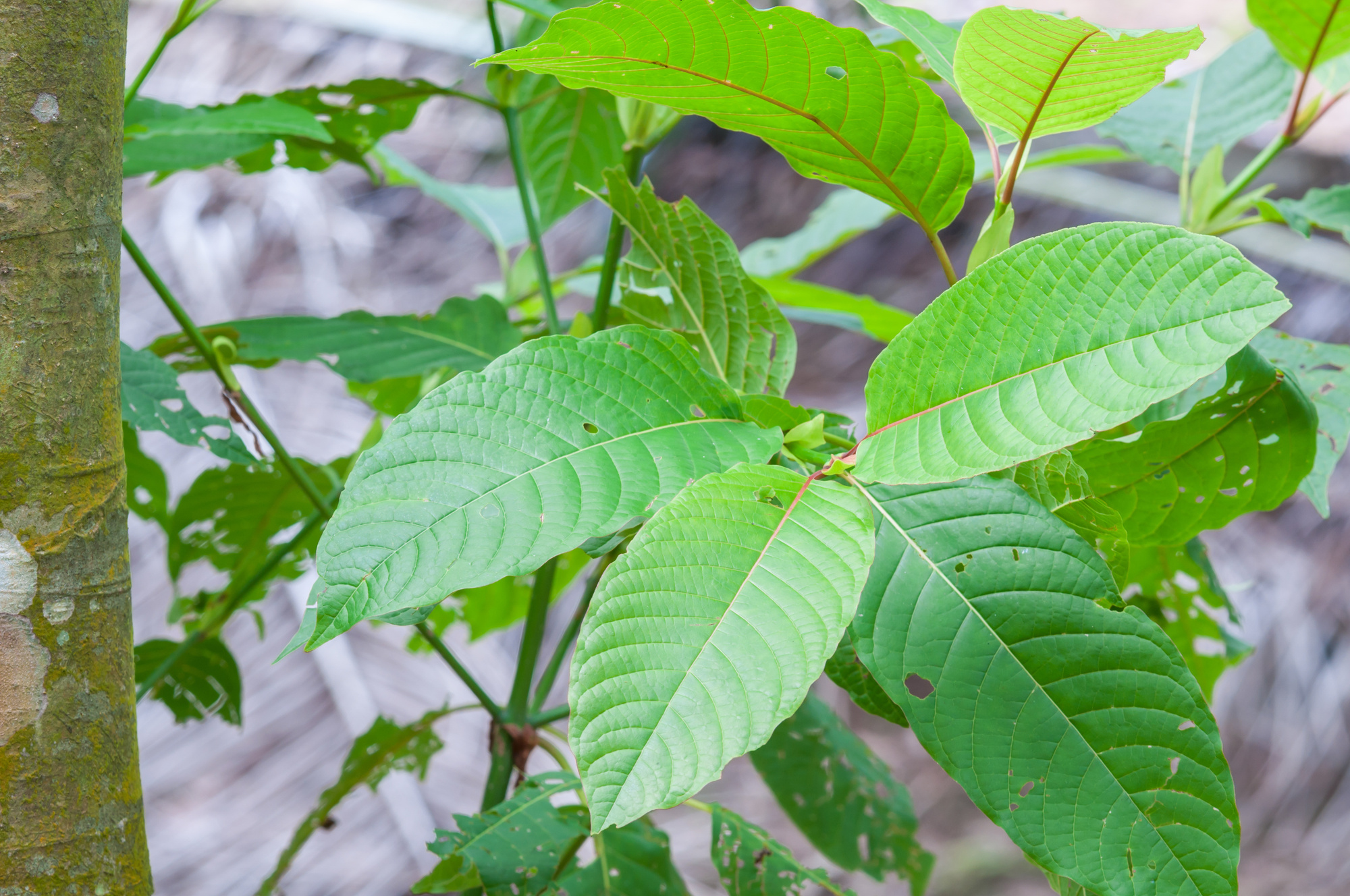 What Are the Possible Kratom Side Effects Regular Users Experience?