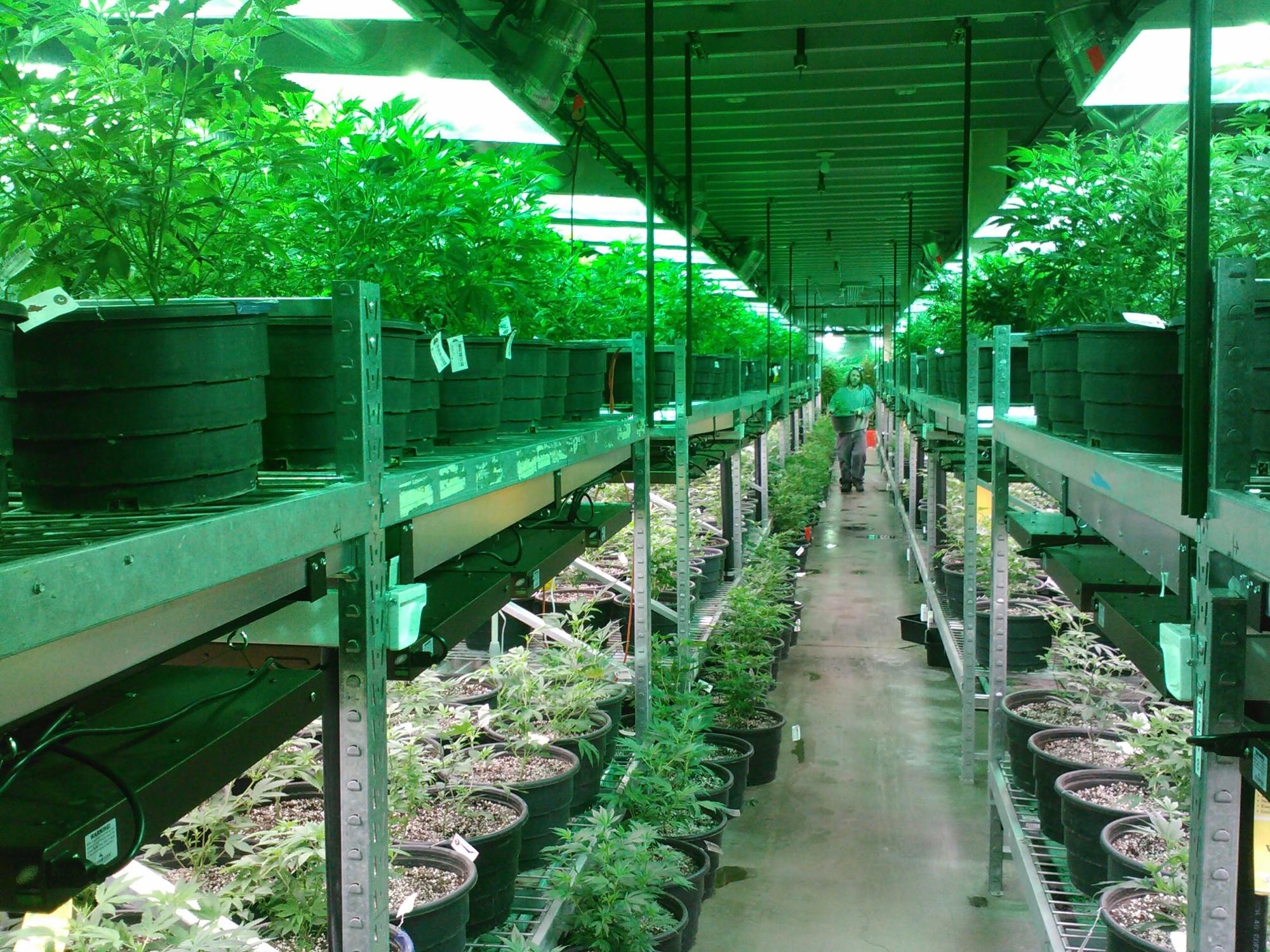 Cannabis Plant Inside a Green House